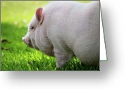 Camden Greeting Cards - Potbelly Pig Greeting Card by Christopher Jenkins  c/o www.luckyshotphotos.com