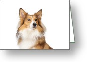 Shetland Sheepdog Greeting Cards - Potrait Of A Shelti! Greeting Card by @Hans Surfer