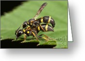 Animalia Greeting Cards - Potter Wasps Mating Greeting Card by Clarence Holmes