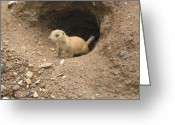 Prairie Dog Greeting Cards - Prairie Dog Greeting Card by Bill Cannon