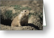 Watch Dog Greeting Cards - Prairie Dog Greeting Card by David Aubrey