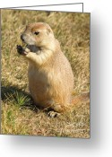 Prairie Dog Greeting Cards - Prairie Dog feeding on the meadows at the Devils Tower Greeting Card by Alex Cassels