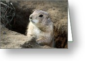 Prairie Dog Greeting Cards - Prairie Dog Lookout Greeting Card by Karol  Livote