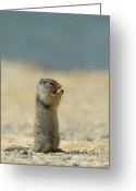 Prairie Dog Greeting Cards - Prairie Dog Greeting Card by Sebastian Musial
