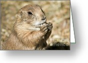 Prairie Dog Greeting Cards - Prairie Dog Greeting Card by Teresa Zieba