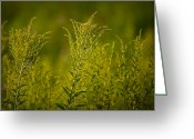 Prairie Native Greeting Cards - Prairie Goldenrod Greeting Card by Steve Gadomski