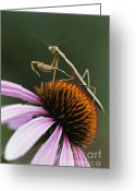 Compound Greeting Cards - Praying Mantis and Coneflower - D008024 Greeting Card by Daniel Dempster