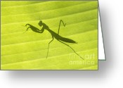 Shadow Shapes Greeting Cards - Praying Mantis Greeting Card by Richard Garvey-Williams