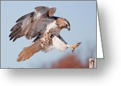 Red Tail Hawks Photo Greeting Cards - Precision Landing Greeting Card by CR  Courson