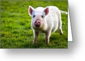 Grass Greeting Cards - Precocious Piglet Greeting Card by Justin Albrecht