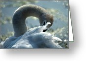 Wildlife Photos Greeting Cards - Preening Swan Greeting Card by Skip Willits