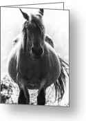 Caballo Greeting Cards - Pregnant mare Greeting Card by Fernando Alvarez
