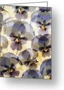 Tom Biegalski Greeting Cards - Pressed Pansy flower background Greeting Card by Tom Biegalski