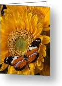 Yellows Greeting Cards - Pretty butterfly on sunflowers Greeting Card by Garry Gay