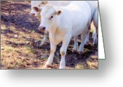 Charolais Greeting Cards - Pretty Girls Greeting Card by Jan Amiss Photography