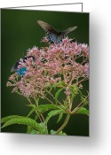 Swamp Milkweed Greeting Cards - Pretty in Pink Greeting Card by Charlie Choc