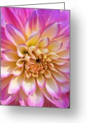 Pink Flower Prints Greeting Cards - Pretty in Pink Dahlia Greeting Card by Kathy Yates