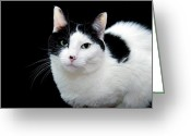 Fine Art Cat Greeting Cards - Pretty Kitty Cat 1 Greeting Card by Andee Photography