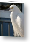 Snowy Night Greeting Cards - Pretty Snowy White Egret Greeting Card by Jean Marshall