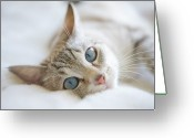 Blue Eyes Greeting Cards - Pretty White Cat With Blue Eyes Laying On Couch. Greeting Card by Marcy Maloy