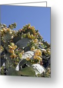 Figs Greeting Cards - Prickly Pear Cacti (opuntia Sp.) Greeting Card by Carlos Dominguez