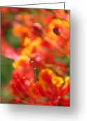 Hawaiian Art Photo Greeting Cards - Pride of Barbados Greeting Card by Sharon Mau