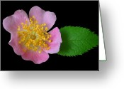 Primrose Greeting Cards - Prim on Black Greeting Card by Kristin Elmquist