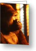 Ape. Great Ape Greeting Cards - Primate Reflecting Greeting Card by Scott Hovind