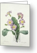 Primrose Greeting Cards - Primrose Greeting Card by Pierre Joseph Redoute