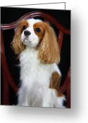 Spaniels Greeting Cards - Princess Fiona Greeting Card by Daphne Sampson
