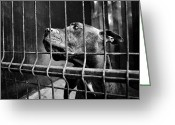 Pit Bull Greeting Cards - Prisoner Greeting Card by Laura Melis