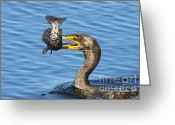 Phalacrocorax Auritus Greeting Cards - Prized catch Greeting Card by Barbara Bowen