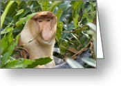 Sabah Greeting Cards - Proboscis Monkey Dominant Male Sabah Greeting Card by Suzi Eszterhas