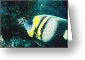 Marine Animal Greeting Cards - Profile Of A Cortez Angelfish Greeting Card by James Forte