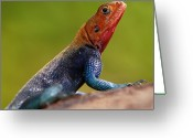 Side  Greeting Cards - Profile Of Male Red-headed Rock Agama Greeting Card by Achim Mittler, Frankfurt am Main