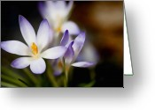 Crocus Greeting Cards - Promise of Spring  Greeting Card by Barb Pearson