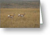 Lewistown Greeting Cards - Pronghorn Antelope At The Charles M Greeting Card by Joel Sartore