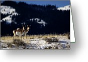 Side View Greeting Cards - Pronghorn (antilocarpa Americana) Greeting Card by Altrendo Nature