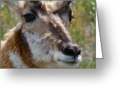 Bison Range Greeting Cards - Pronghorn Buck face study Greeting Card by Karon Melillo DeVega