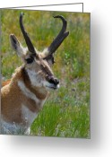 Bison Range Greeting Cards - Pronghorn Buck Greeting Card by Karon Melillo DeVega