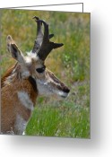 Bison Range Greeting Cards - Pronghorn Buck profile Greeting Card by Karon Melillo DeVega