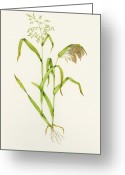 Ripened Fruit Greeting Cards - Proso Millet (panicum Miliaceum), Artwork Greeting Card by Lizzie Harper