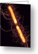 Bacterium Greeting Cards - Proteus Vulgaris Bacteria, Sem Greeting Card by Thomas Deerinck, Ncmir