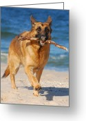 Purebreed Greeting Cards - Proud and Happy - German Shepherd Dog Greeting Card by Angie McKenzie