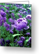 Featured Artwork Prints Greeting Cards - Proud Poppy in Giverny Greeting Card by Kathy Yates