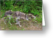 Prowling Greeting Cards - Prowling Wolf Greeting Card by Louise Heusinkveld