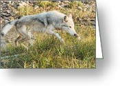 Prowling Greeting Cards - Prowling Wolf Greeting Card by Wade Aiken