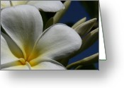 Light Greeting Cards Greeting Cards - Pua Lena Pua Lei Aloha Tropical Plumeria Maui Hawaii Greeting Card by Sharon Mau