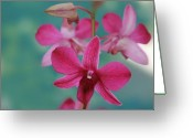 Dendrobium Greeting Cards - Puanani Kealoha Dendrobium d Burana red flame Hawaiian Orchid Greeting Card by Sharon Mau