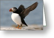 Seal Greeting Cards - Puffin impersonating an Eagle Greeting Card by Stanley Klein